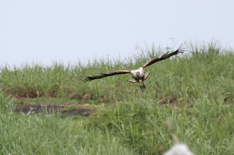 African Fish-Eagle - juvenile