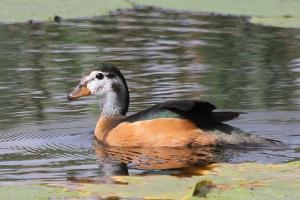African Pygmy-Goose - female