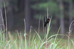Fan-tailed Widowbird and mystery Warbler