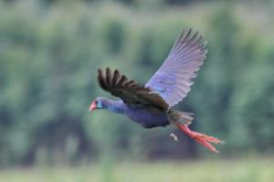 African Purple Swamphen.