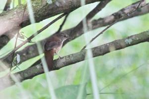 Lesser Swamp Warbler