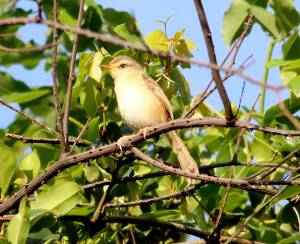 Tawny-flanked Prinia - Crystelle Wilson