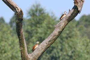 African Pygmy Geese in tree