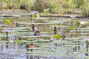 White-backed Ducks and African Pygmy Goose