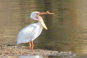 American White Pelican - Yellowstone
