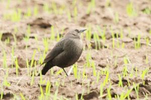 Brewer's Blackbird - female