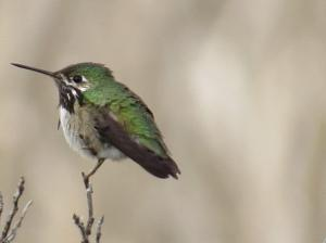 Calliope Hummingbird - male