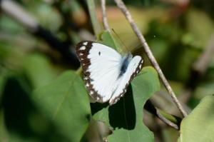 Common white - Dave Rimmer