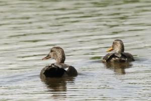 Gadwall - male and female