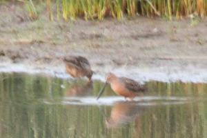 Long-billed Dowitcher - spotted as we raced down the highway at dusk.