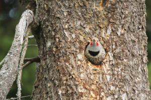 Northern Flicker in hole
