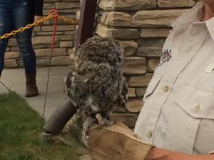 Western Screech-Owl in rehab