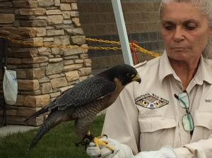 Peregrine Falcon in rehab
