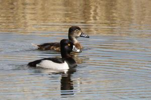 Ring-necked Ducks - male and female
