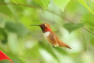 Rufous Hummingbird - male