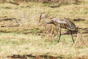 Sandhill Crane - Yellowstone. Just out of the bath.