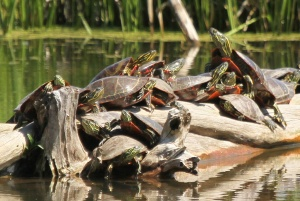 A melee of turtles