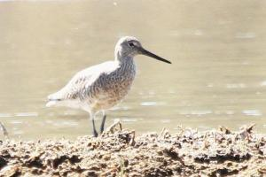 Willet - Yellowstone