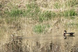 Wood Duck - male and female