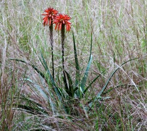 Aloe in the grassland