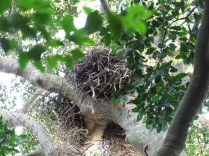 Black Sparrowhawk Nest - Sally Bartho