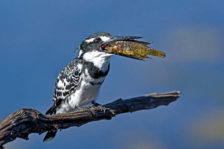 Pied Kingfisher and meal.