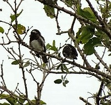 White-eared Barbets