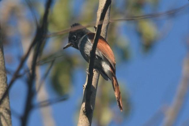 African Paradise-Flycatcher - Hennie Jordaan