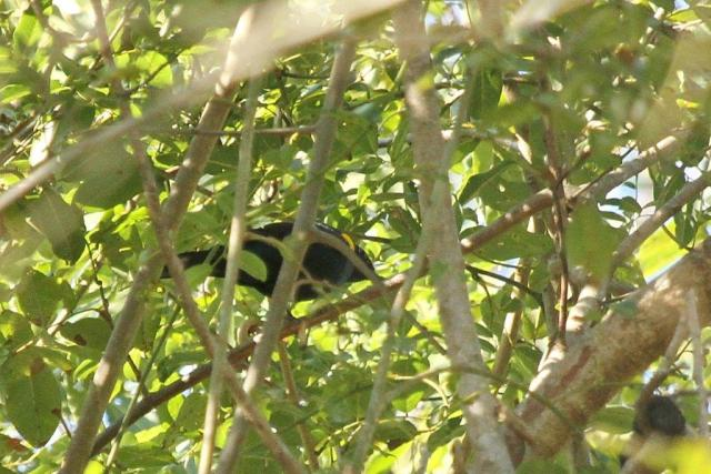 Black Cuckooshrike - PB