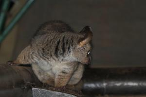 Bushy-tailed Bushbaby - naughty