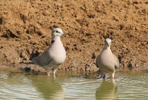 Cape Turtle-Doves