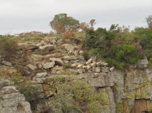 Cape Vultures on cliff face