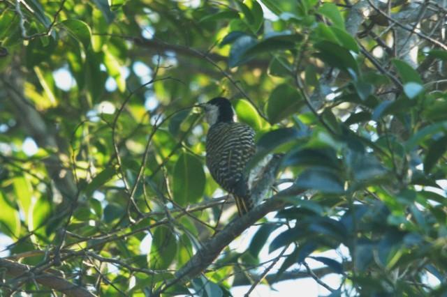 Cardinal Woodpecker - Hennie Jordaan