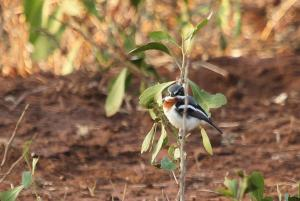 Chinspot Batis - female looking cross