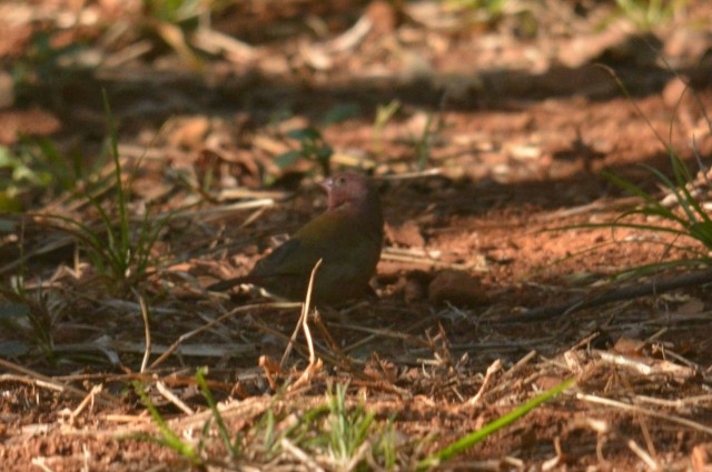 Red-billed Firefinch - Decklan Jordaan.
