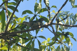 Scaly-throated Honeyguide - Decklan Jordaan