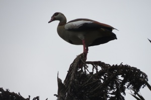 3  Egyptian Goose trying to look like a Palmnut Vulture on a Raffia Palm