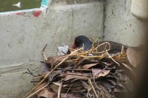 Moorhen nesting in a boat