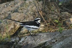 African Pied Wagtail - PB