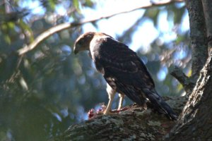 Black Sparrowhawk - juvenile - John