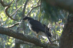 Black Sparrowhawk - adult  - John