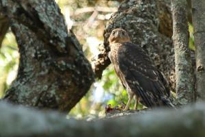 Black Sparrowhawk - juvenile -PB