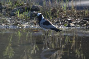 Blacksmith Lapwing - John