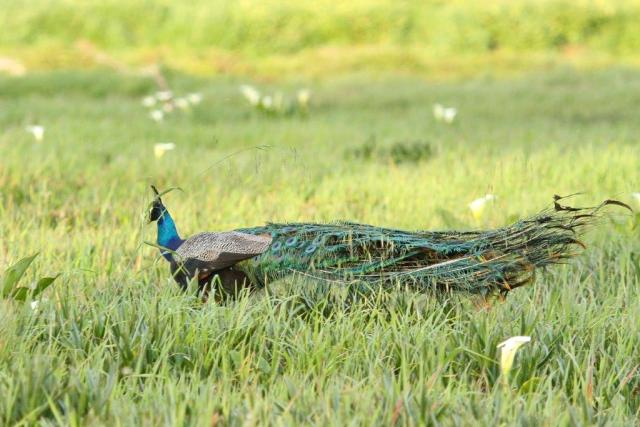 Common Peacock