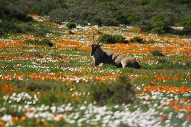Eland in his field of flowers