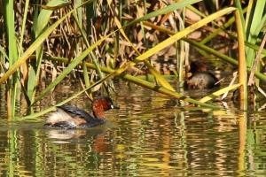 Little Grebes - PB