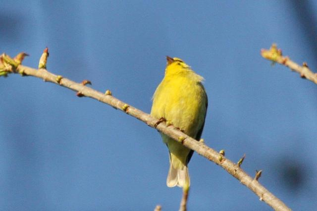 Yellow-fronted Canary -PB
