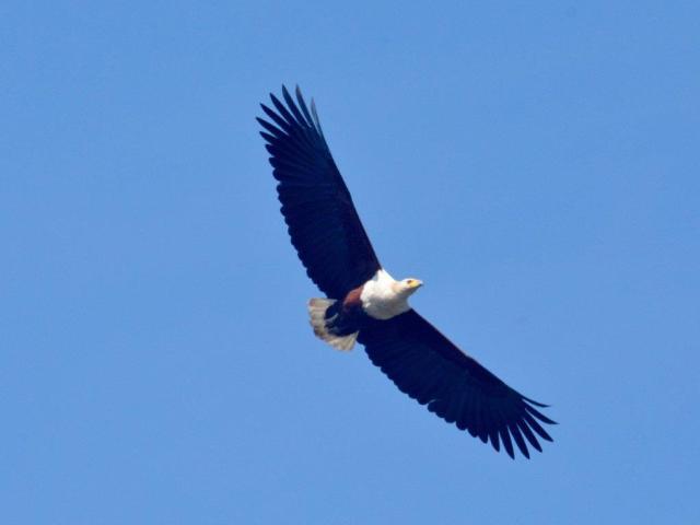 African Fish-Eagle by Hennie Jordaan