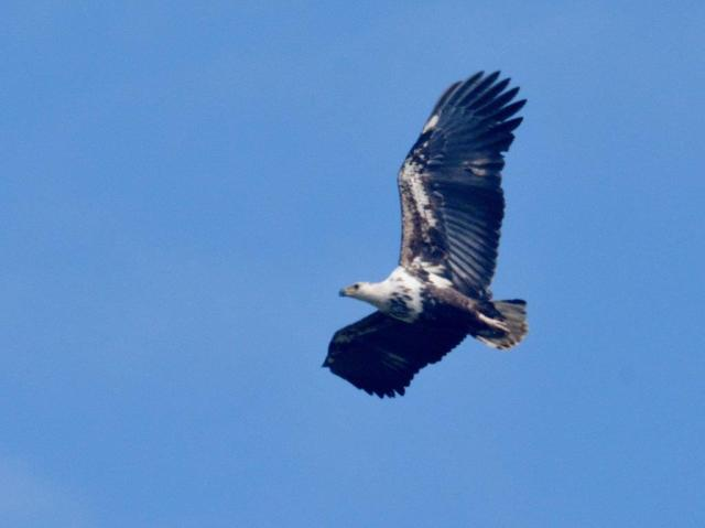 African Fish-Eagle in flight being chased away by its parents by Hennie Jordaan