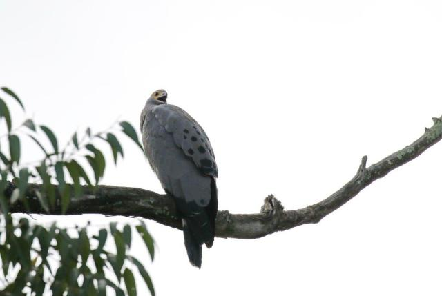 African Harrier-Hawk - youngster crying for food.